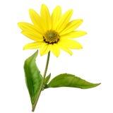 Topinambour (Jerusalem artichoke) flower Royalty Free Stock Photo