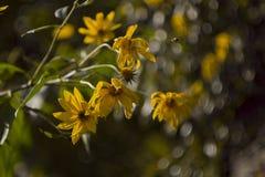 Topinamburów kwiatów gałąź fotografia stock