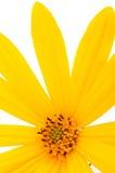 Topinambur-Blumen-Nahaufnahme Lizenzfreie Stockfotografie