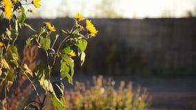Topinambur che fiorisce fra le rovine della città stock footage