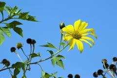 Topinambur, especie der Sonnenblume Stockfotos