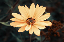 Topinambur. Jerusalem artichoke Royalty Free Stock Images