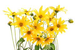 Topinambur yellow flowers background Royalty Free Stock Image