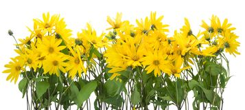 Topinambur yellow flowers border Stock Image