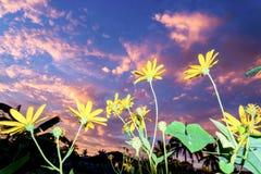 Topinamburblumen schließen oben im Sommer auf Sonnenaufgang Stockfotografie