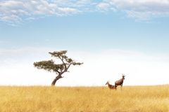 Topipar och akaciaträd i masaien Mara royaltyfria foton