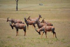 Topis-Antilope auf den Ebenen Stockbild