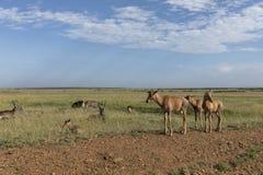 Topis novos no Masai Mara Game Reserve, Kenya imagem de stock