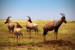 Topis on savanna plains in Kenya - Masai Mara national park royalty free stock images