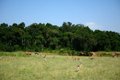 Topis and Thomson-gazelles, Maasai Mara Game Reserve, Kenya Royalty Free Stock Images