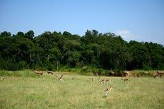 Topis and Thomson-gazelles, Maasai Mara Game Reserve, Kenya Royalty Free Stock Images