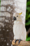 Topknot branco do amarelo do cockatoo no banch Imagem de Stock Royalty Free