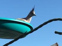 Topknot crested голуби в фидере Стоковое Изображение