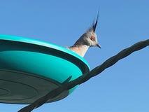 Topknot crested голуби в фидере Стоковые Изображения