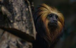Topmodel małpa obrazy stock