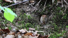 Topo al mousehole stock footage
