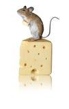 Topo che sta sul formaggio isolato contro fondo bianco Fotografia Stock