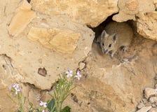 Topo coperto di spine dorato a Masada in Israele immagine stock libera da diritti