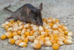 Topo del bambino che mangia cereale Immagine Stock Libera da Diritti