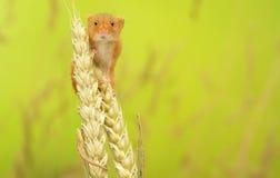 Topo di raccolto Fotografia Stock