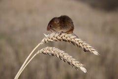 Topo di raccolto, minutus di Micromys Fotografie Stock Libere da Diritti