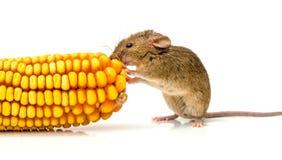 Topo domestico (musculus di Mus) che mangia cereale Immagini Stock