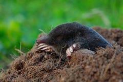 Topo, europaea de Talpa, arrastrándose fuera de topera marrón, hierba verde en el backgrond imagenes de archivo