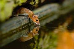 topo Giallo-con il collo, flavicolis di apodemus, acqua potabile nella foresta, animale nell'habitat della natura, Ungheria Fotografia Stock