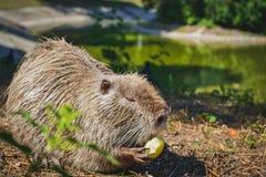 Topo muschiato che mangia una mela Fotografie Stock Libere da Diritti