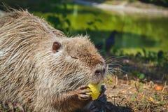 Topo muschiato che mangia una mela Fotografia Stock