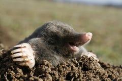 Topo negro hambriento Fotos de archivo libres de regalías