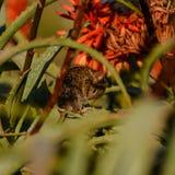 topo Quattro-a strisce dell'erba Fotografie Stock