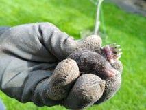 Topo salvaje en las manos en el primer de los guantes del jardín fotos de archivo libres de regalías