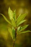 Topol. poplar leaves. Topol. poplar leaves in the spring Stock Image