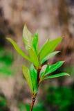 Topol. poplar leaves. Topol. poplar leaves in the spring Stock Photography