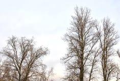 Topola bez liści Zdjęcie Royalty Free