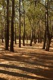 topola ocienia wysokich drzewa Fotografia Royalty Free