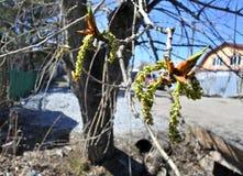Topola pączkuje na drzewnym zbliżeniu Obrazy Royalty Free