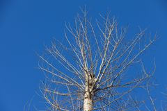 Topola z koroną ciącą od above promieniami położenia słońce, zaświecający przeciw nieba tłu obraz stock