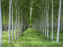Topoli pole w Tuscany, Włochy Zdjęcie Stock