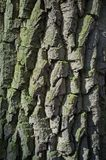 Topolowa Drzewna barkentyna lub Rhytidome tekstury szczeg?? obraz royalty free