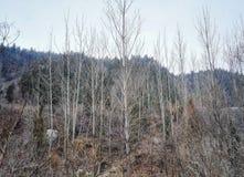 Topolowego drzewa las w zimie Fotografia Stock