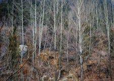 Topolowego drzewa las w zimie 2 Obrazy Stock