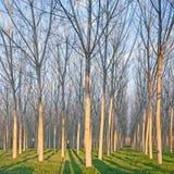 Topolowego drzewa las w zimie. Emilia, Włochy Zdjęcie Stock