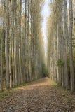 Topolowego drzewa plantacja w jesieni Fotografia Royalty Free