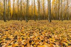 Topolowego drzewa spadku liście w Boardman Oregon usa Fotografia Stock