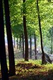 Topolowi drewna Zdjęcie Royalty Free