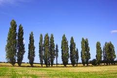 topolowi drzewa Zdjęcia Royalty Free