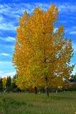 Topolowi drzewa Zdjęcia Stock
