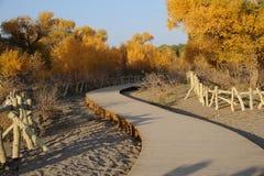 Topolowi drzewa z ścieżką w jesieni Fotografia Royalty Free